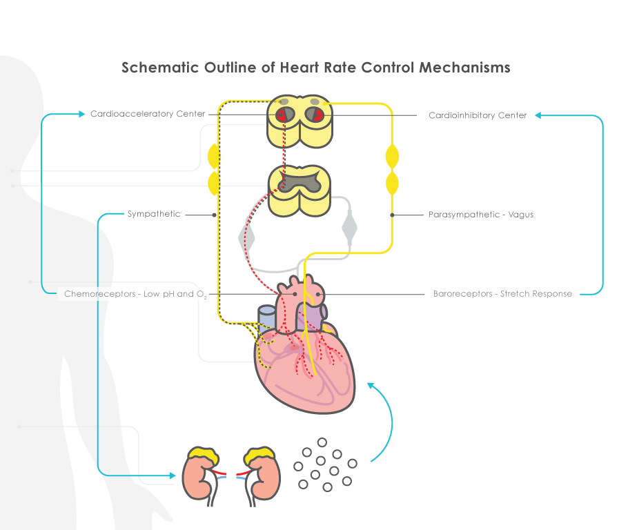 What regulates fetal heart rate fetal heart rate physiology ccuart Image collections
