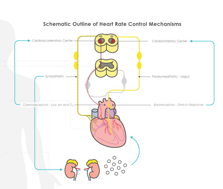 What Regulates Fetal Heart Rate – PeriGen