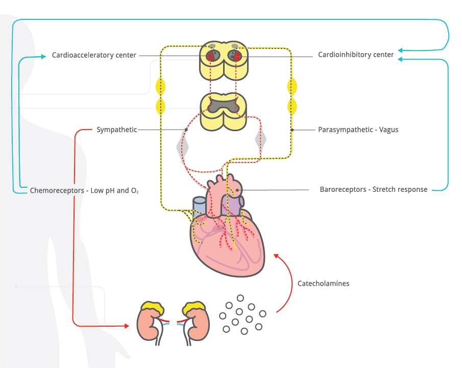 Fetal Heart Rate Physiology and its control with EFM